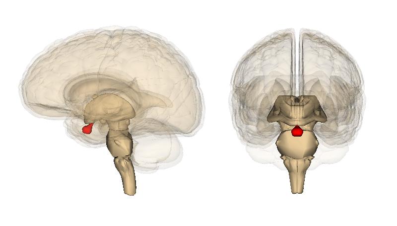 Pituitary_gland_image