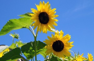 sunflowers-17860_640