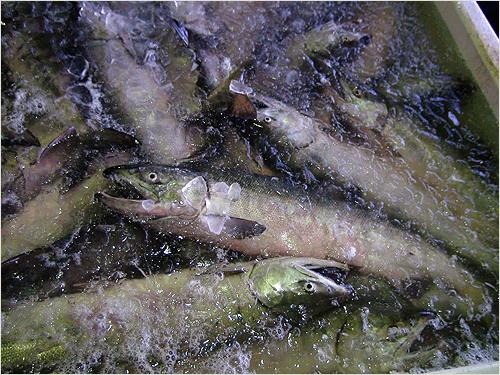 鮭プロテオグリカン