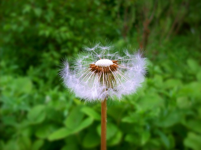 dandelion-20927_640